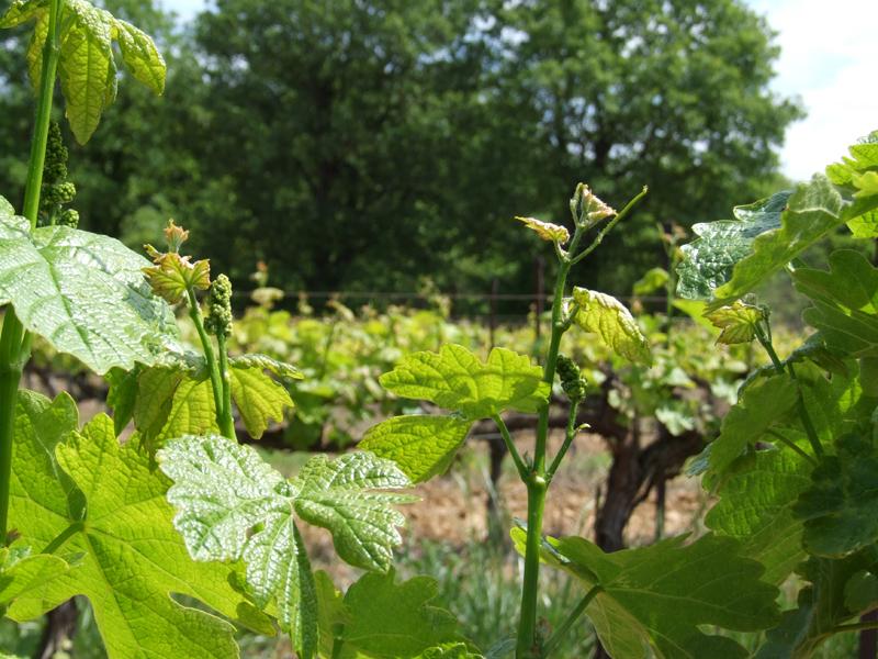 La vigne au printemps